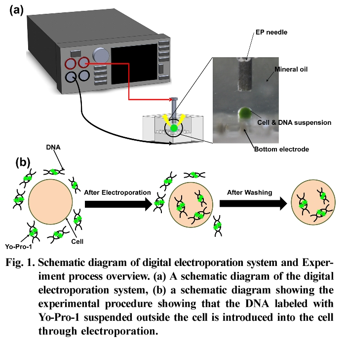 Fig. 1. Schematic diagram of digital electroporation system and Experiment process overview.