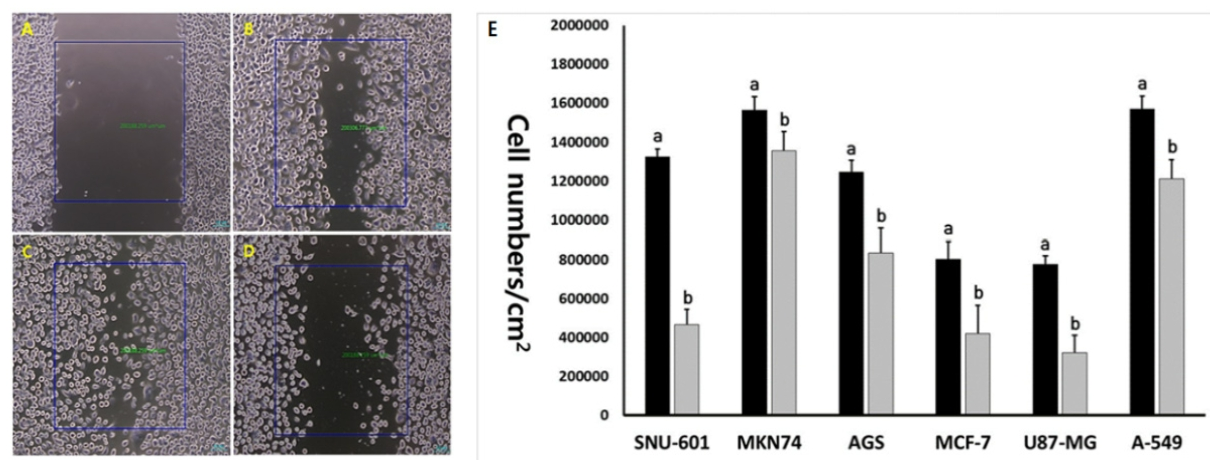 Fig. 8. Cell migration test using wound healing assay in SNU-601 cells after scratch (A), control SNU-601 cells after 24 hr (B), 48 hr (c) and 10 μM EGCG-treated SNU-601 cells for 48 hr (D). E, Migrated cell number in untreated control (■) and 10 μM EGCG treated (■) cancer cell lines. a and b indicates significant (p<0.05) difference between untreated control and EGCG-treated cell lines, respectively.